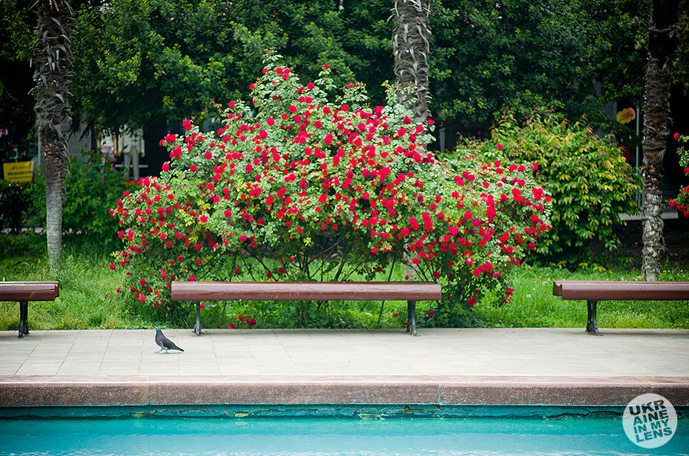Кусты розы в парке Ленина