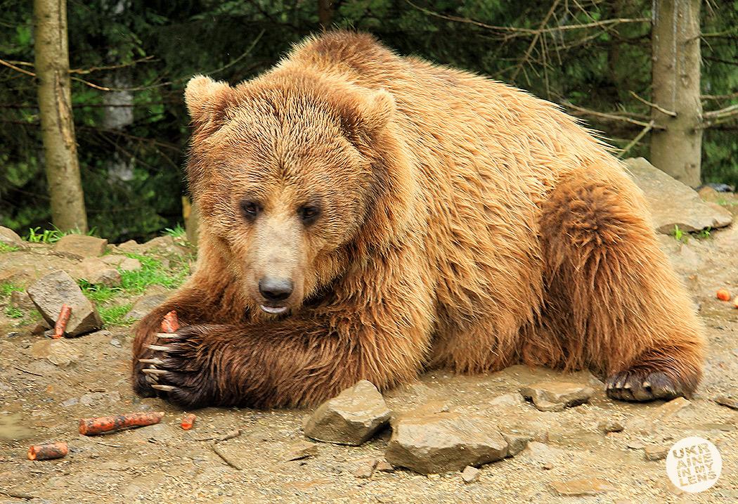 Синевирский центр реабилитации бурого медведя